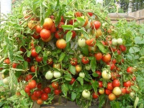 Характеристика и описание сорта томатов «белый налив 241», особенности выращивания