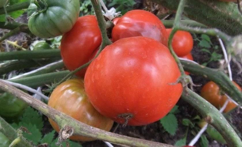 Помидоры фатима: описание и агротехника выращивания сорта