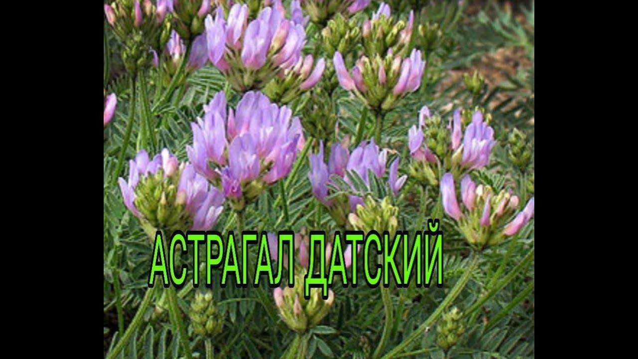 Астрагал — лечебные свойства и противопоказания