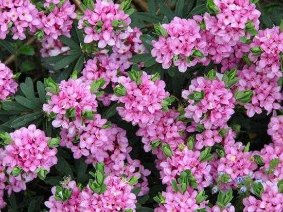 Дейция розовая: описание и особенности выращивания