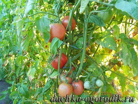 Томат малиновый звон: описание, отзывы огородников, фото, урожайность сорта
