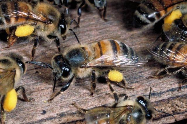 Пчела «степная украинская»: особенности породы, её продуктивность и качества