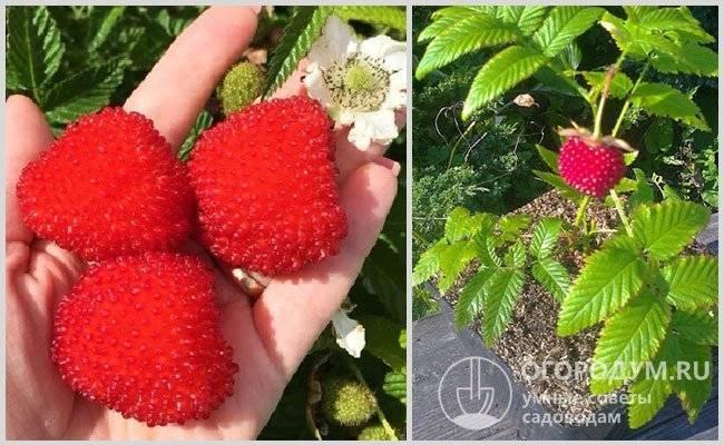 Особенности посадки тибетской малины и правила ухода за растением