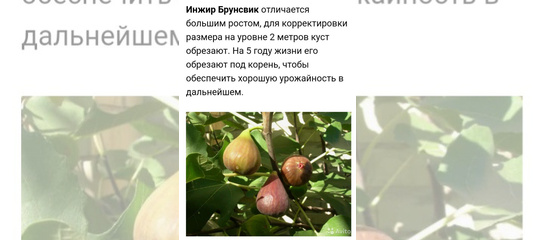 Инжир брунсвик: описание сорта