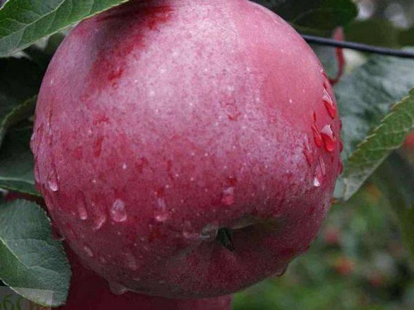 Лучшие сорта колоновидных яблонь для подмосковья, сибири и урала