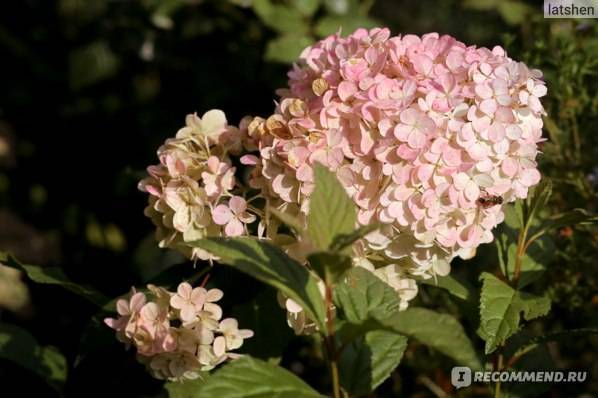 Самарская лидия: сорт гортензии метельчатой, посадка, уход, выращивание