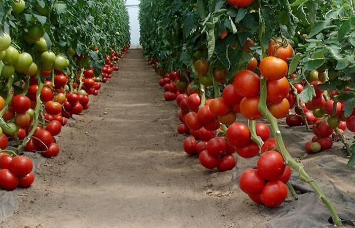 Подарок голландских селекционеров — сорт томатов «бенито f1» и их описание