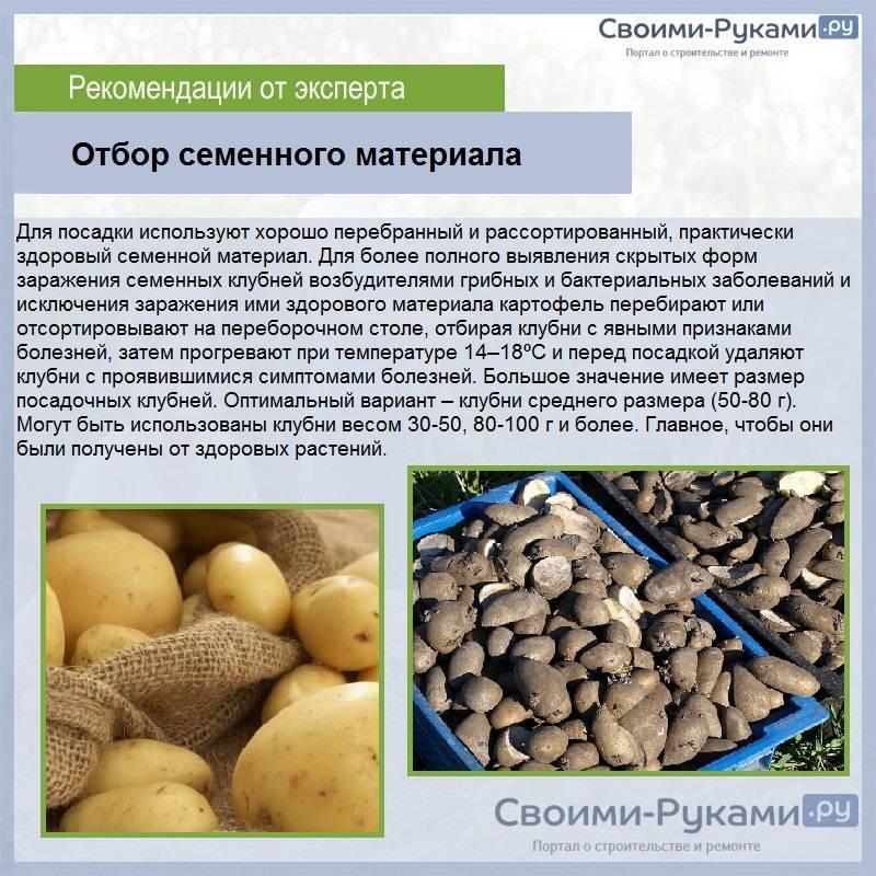 Как и чем провести обработку картофеля перед посадкой от колорадского жука?