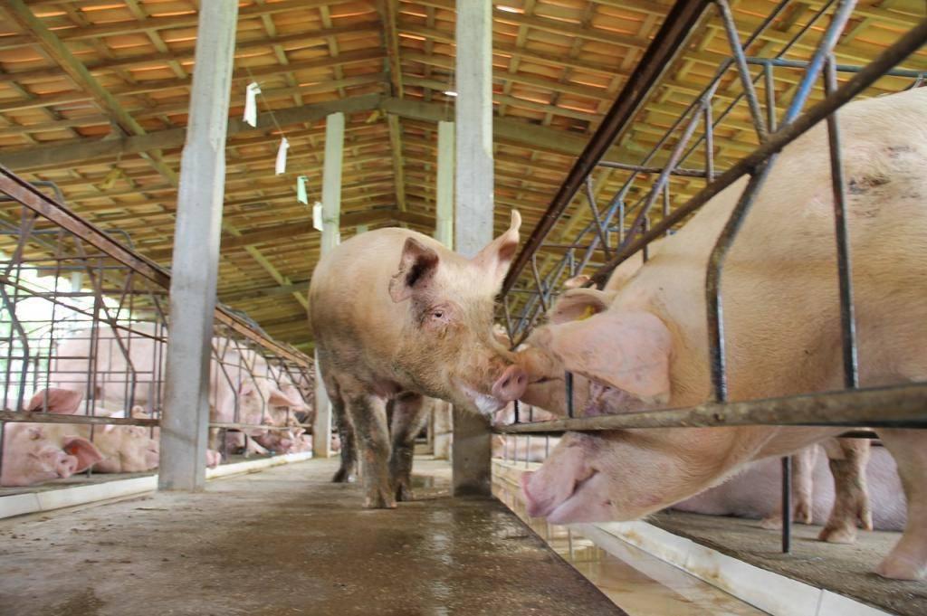Искусственное осеменение в животноводстве: техники осеменения