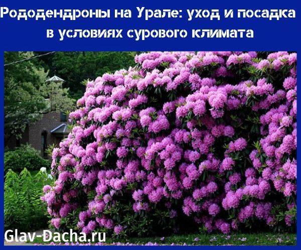 Рододендрон даурский (36 фото): правила посадки цветка, особенности ухода за багульником, описание сортов