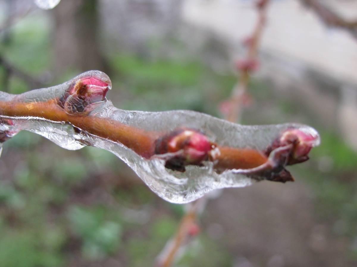 Почему у вишни опадает завязь