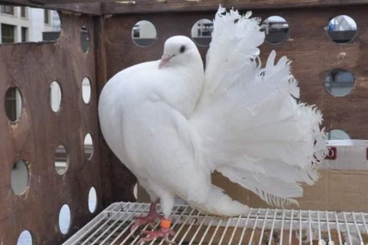 Породы домашних голубей с фото, названиями и описанием