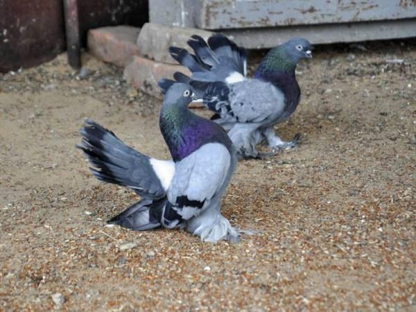 Статные голуби - вики