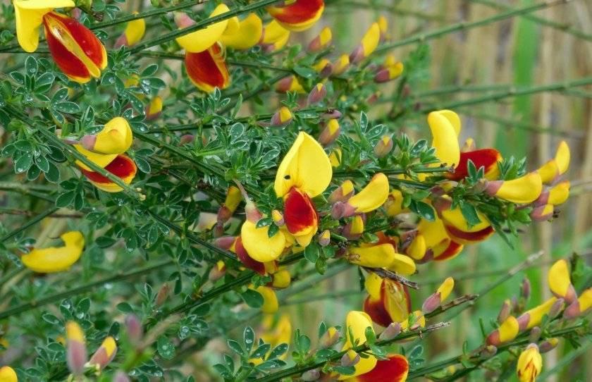 Ракитник: посадка и уход, выращивание, размножение, фото - читайте на орхис